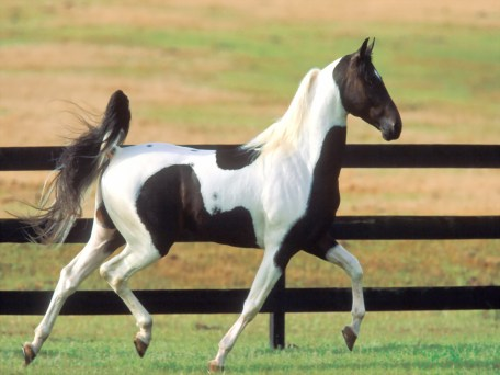 running-white-and-black-horse-animal